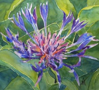 Purple Mountain Cornflower